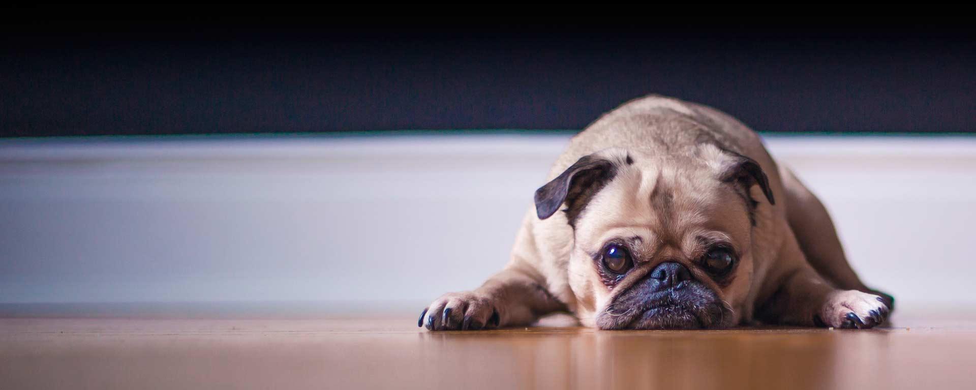 clinica delta perro pug